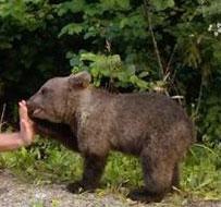 Bear-cub-crop