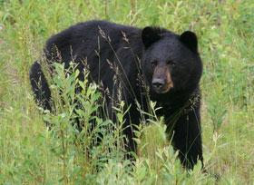 Black-bear-crop